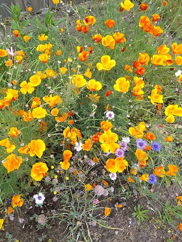 Biologische bloemen voor bijen en vlinders